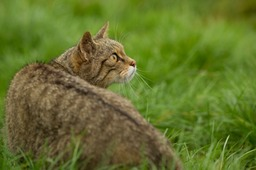 scottish wild cat
