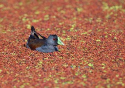 spot flanked gallinule