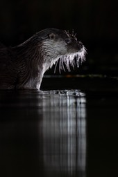 common otter